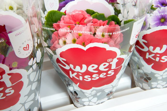 Primula obconica Sweet Kisses Amore